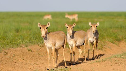 Ursache für den Tod von 200.000 Antilopen geklärt