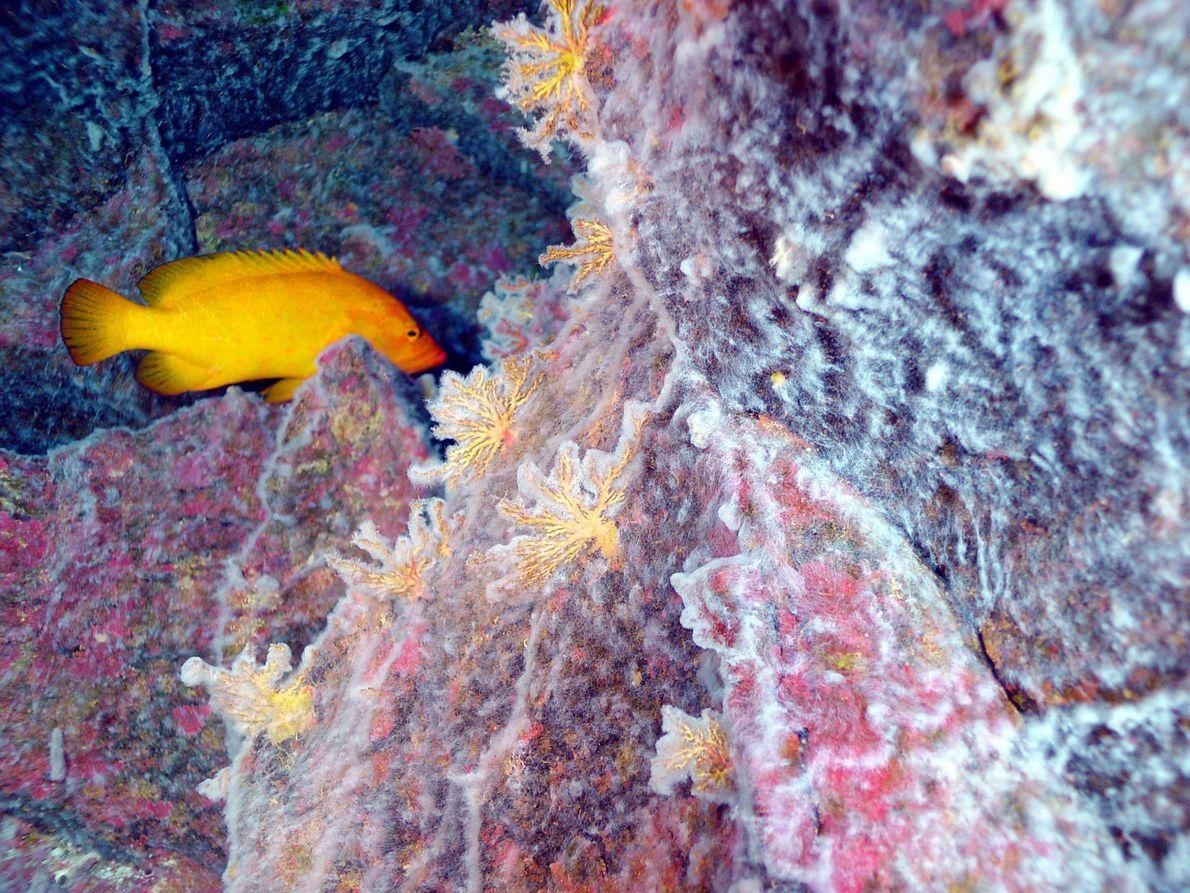 190 Meter tief im Westpazifik formen Mikroben in einem Korallenriff ganze Matten. Was hier bizarr aussieht, ...