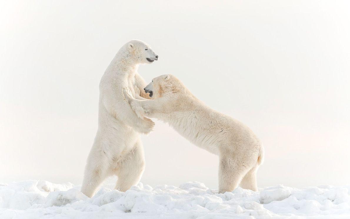 Diese zwei Eisbärenmännchen schienen sich Gesellschaft zu leisten, während sie darauf warteten, dass sich die Eisdecke ...