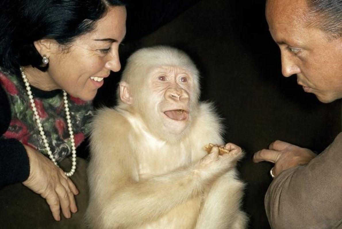 Seltener Albinogorilla