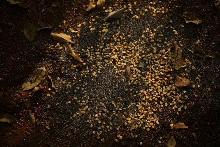 Mais für Tiere des Amazonas