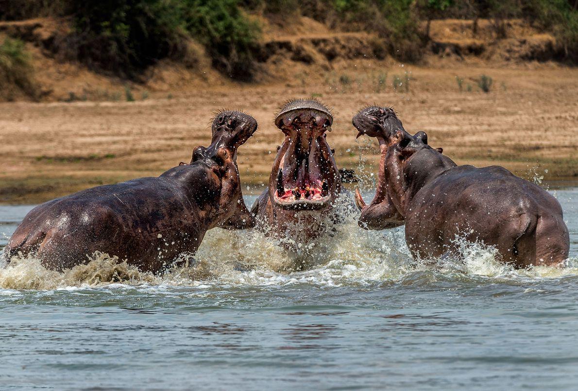 3 Flusspferde mit aufgerissenen Mäulern.