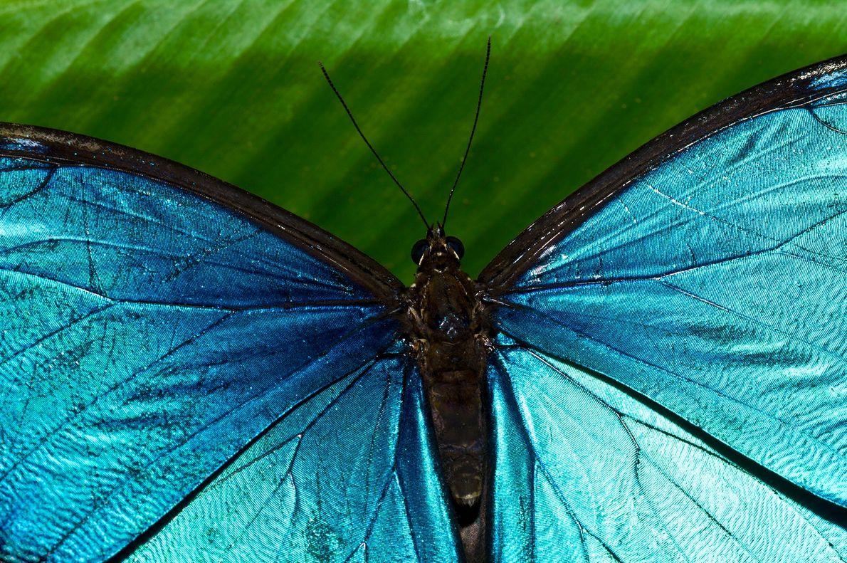 Aufgrund seiner schillernd blauen Flügelfarbe, die bei Sammlern beliebt ist, wurde der Morpho menelaus im 20. ...