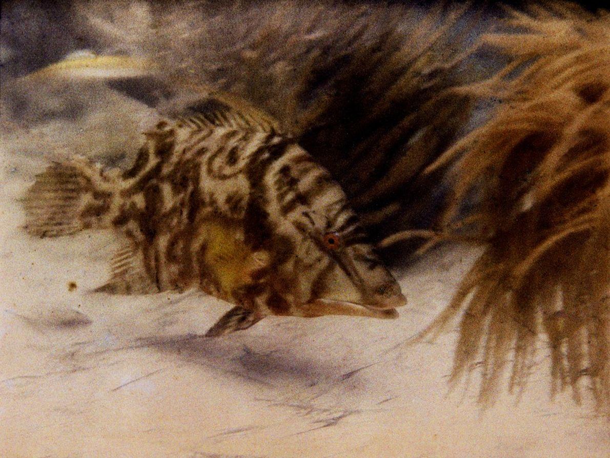 Das Foto dieses Eber-Lippfischs war die Geburtsstunde des Unterwasser-Farbfotografie. Die Aufnahme entstand 1926 vor den Florida ...