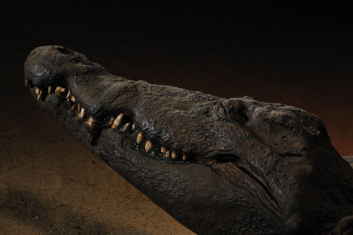 Mumie eines Krokodils