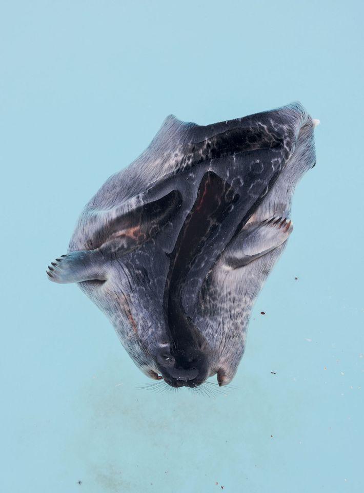 Die Robbenjagd ist ein wesentlicher Bestandteil der Lebensweise der Inuit. Aus dem Fell wird wärmende Kleidung ...