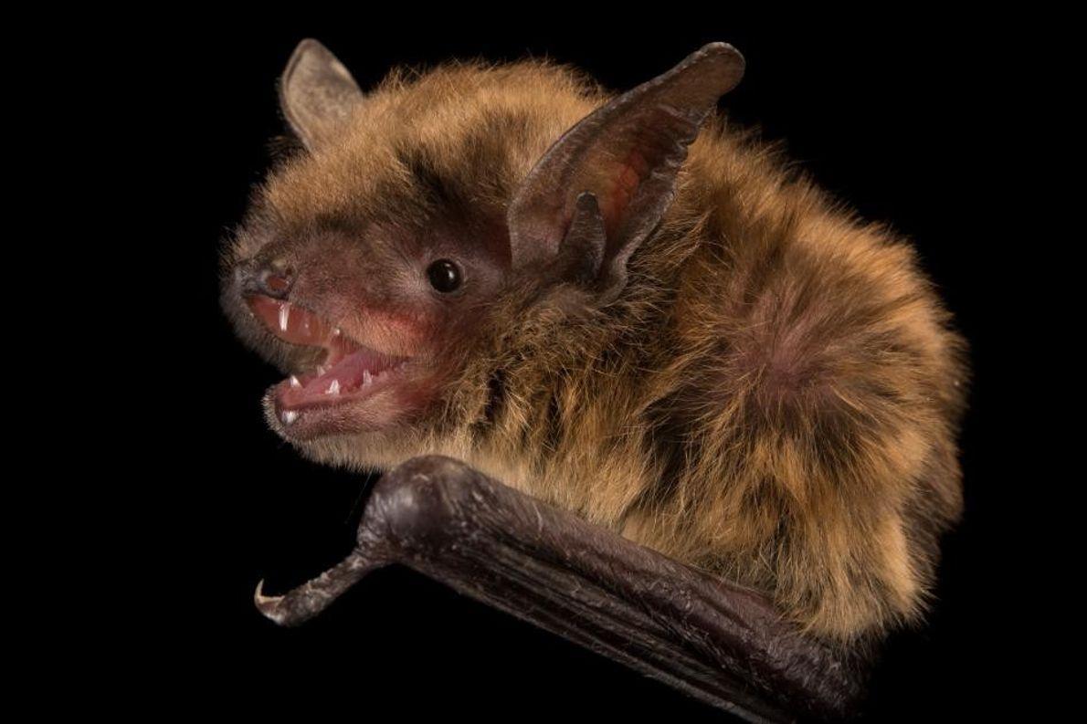 Eine Kleine Braune Fledermaus. Eine Kolonie der Art überwintert in einem alten Eisenbahntunnel in Pennsylvania. Forscher ...