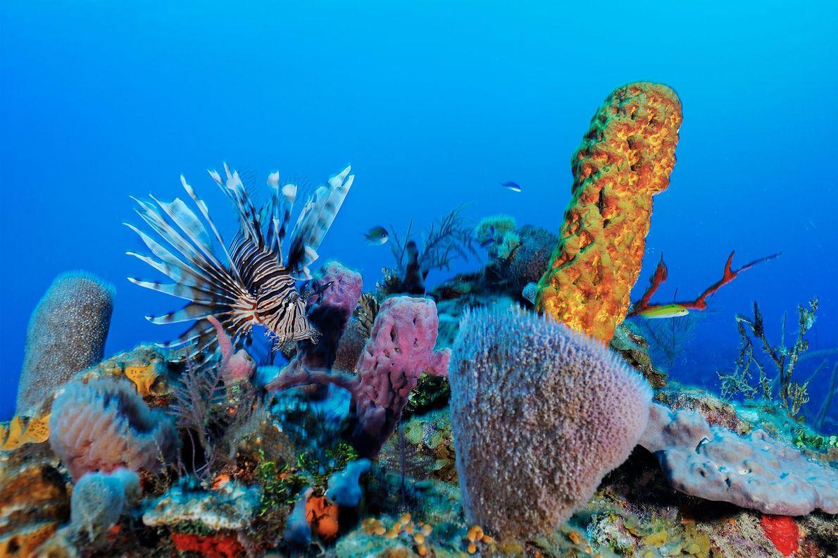 Feuerfische sind eine relativ neue invasive Art in den Riffen von Belize und richten dort Schäden ...