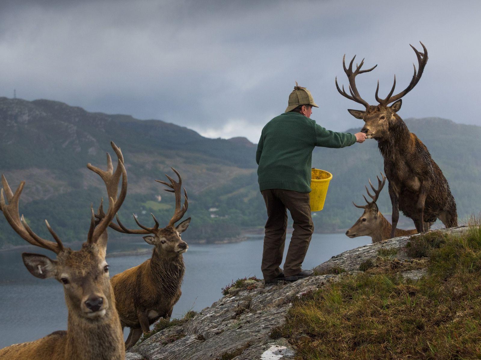 Colin Murdoch, der die Wildpopulation im Reraig Forest in der Nähe des Loch Carron verwaltet, füttert ...