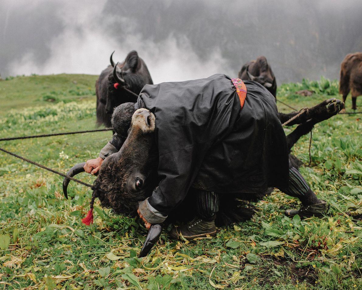 Der 55-jährige nomadische Yakhirte Tshering führt ein monatliches Ritual durch, bei dem er die Yakbullen zu ...