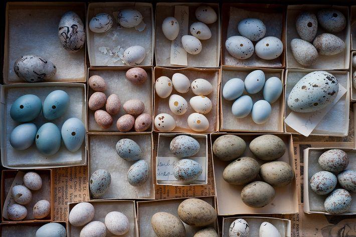 Eiersammlung des Museums der Universität von Nebraska