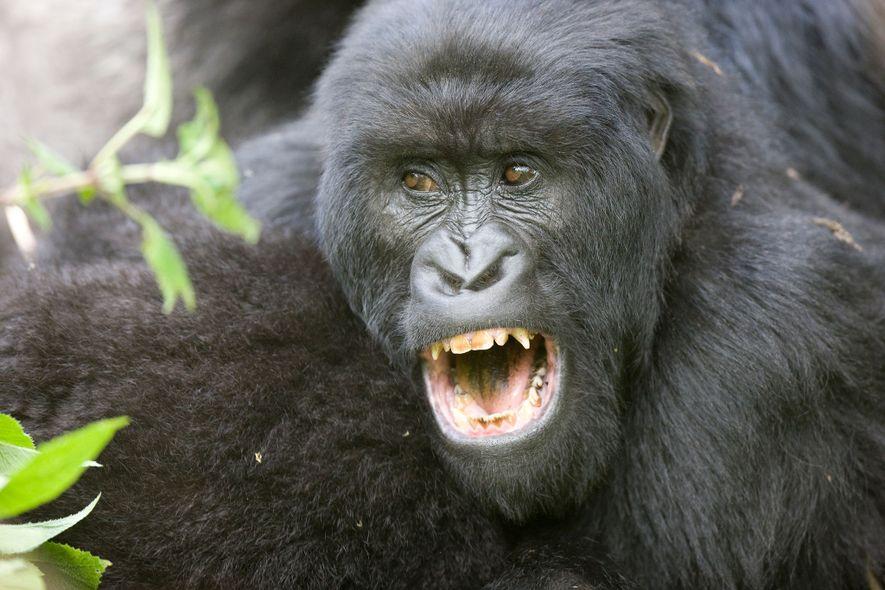 Die meisten männlichen Primaten haben lange Eckzähne, Menschen allerdings nicht. Das liegt womöglich daran, dass menschliche ...