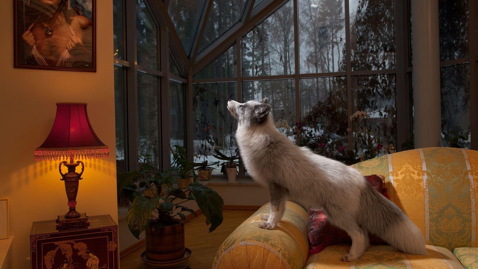 Alisa, ein russischer Fuchs, lebt als Haustier in der Nähe von Sankt Petersburg in Russland.