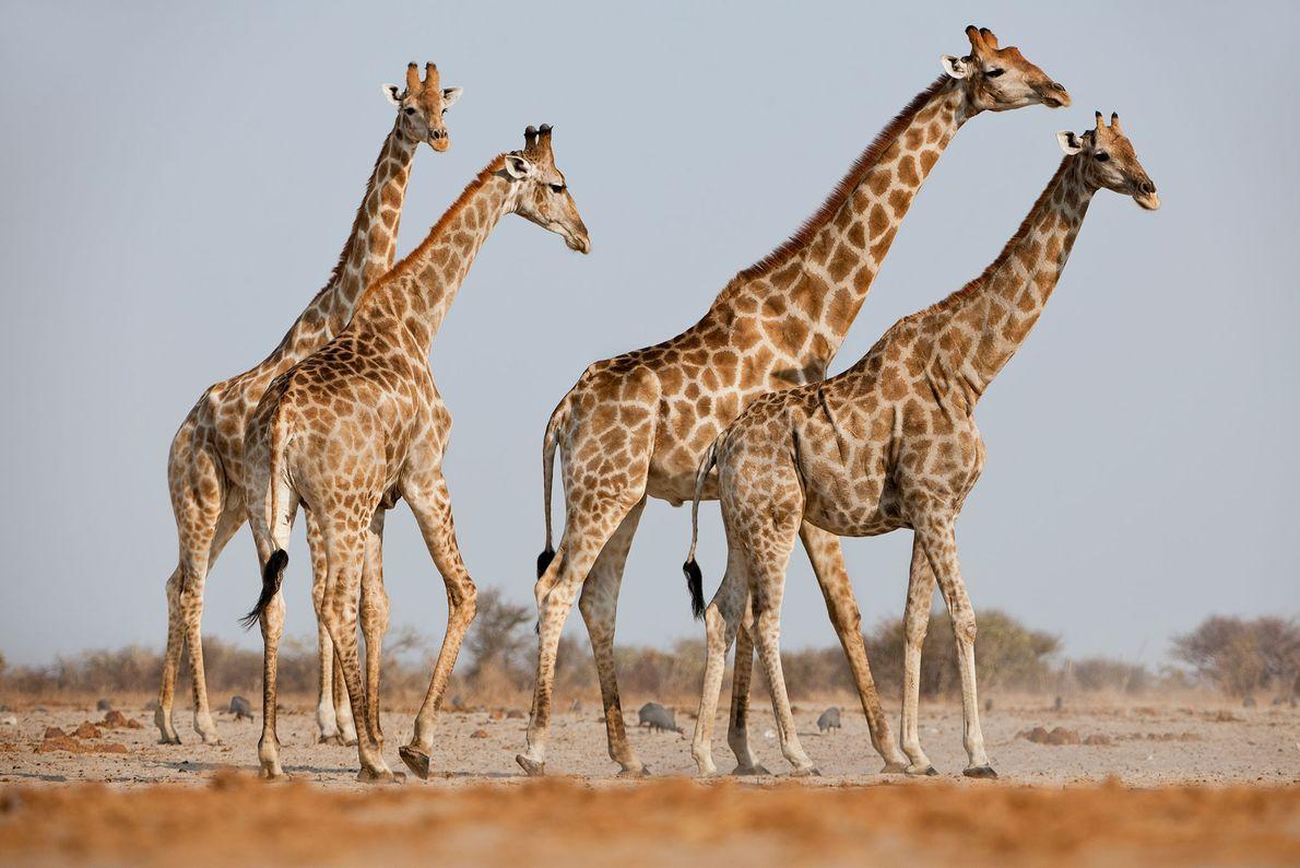 Männliche Giraffen im Etosha-Nationalpark in Namibia stellen einem paarungswilligen Weibchen nach.