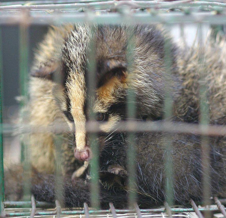 Kann das Coronavirus Chinas Wildtiermärkten ein Ende setzen?