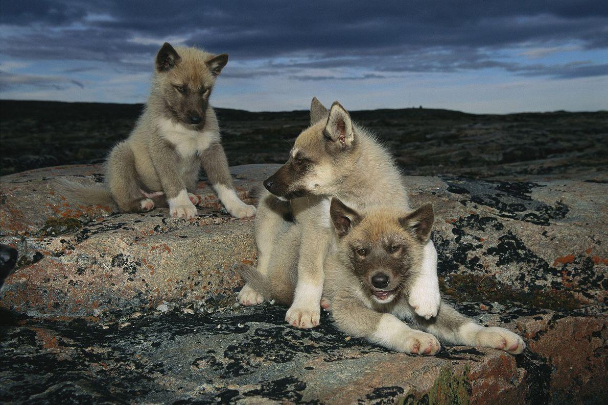 Hundewelpe