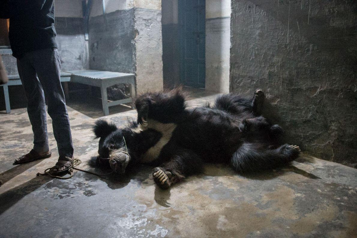 Rangeelas Besitzer steht in der Polizeistation auf einem Seil, dass durch das Maul des Bären führt. ...