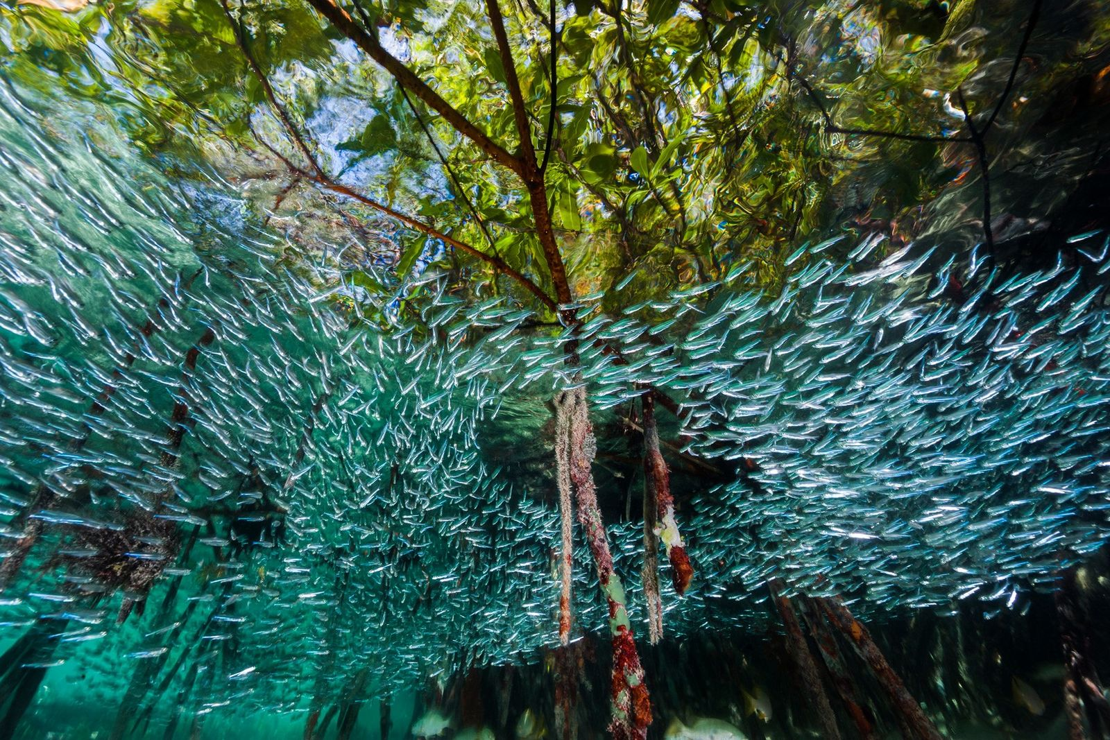 Ährenfische – kleine, silberfarbene Fische – schwärmen durch einen Mangrovenwald.