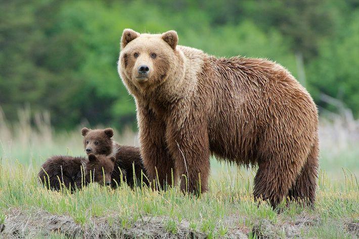 Eine Grizzlymutter behält die Umgebung im Lake-Clark-Nationalpark in Alaska im Blick. Die Raubtiere sind in Kalifornien ...