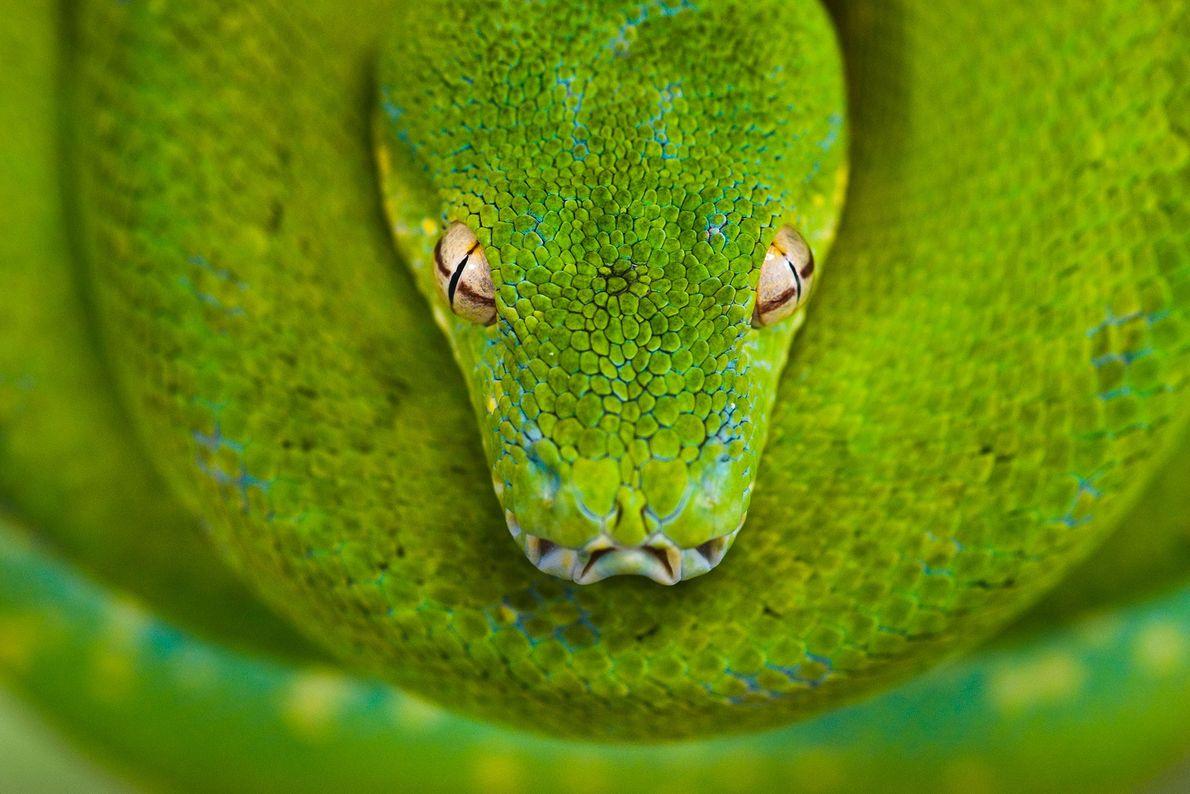 Ein Grüner Baumpython lauert eingerollt auf einem Ast im Australian Reptile Park in New South Wales, ...
