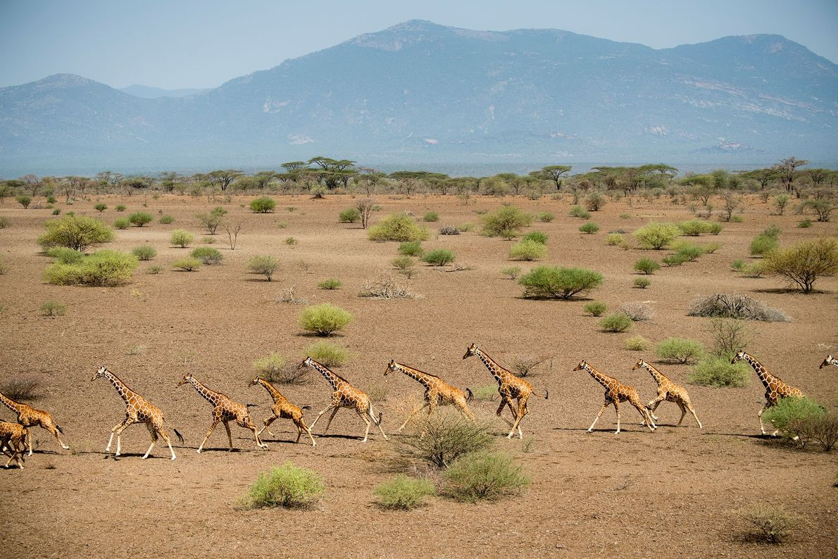 Herde Giraffen