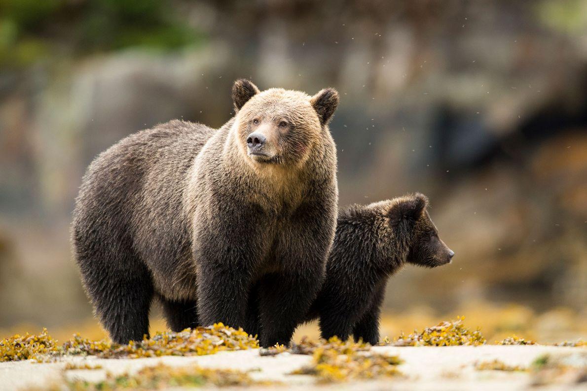 Eine Grizzlymutter steht während der Ebbe neben ihrem Jungen in einem Mündungsgebiet. Grizzlys sind neben den ...