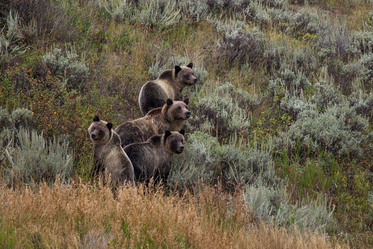 Eine Grizzlybärin mit ihren Jungen