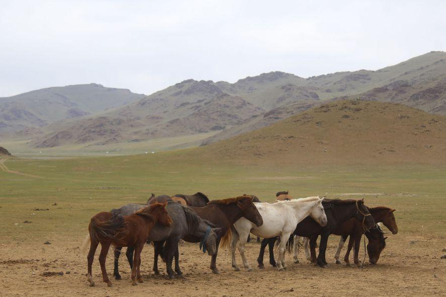 Pferde in der Mongolei. Wissenschaftler nehmen an, dass die Art erstmals vor etwa 5.000 Jahren in ...