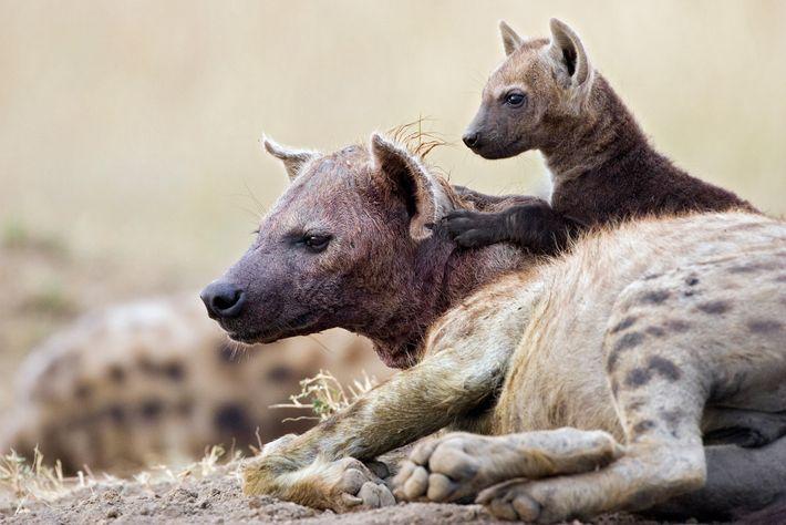 Ein elf Wochen altes Hyänenjunges in der Masai Mara sitzt auf seiner Mutter. Da die Tiere ...