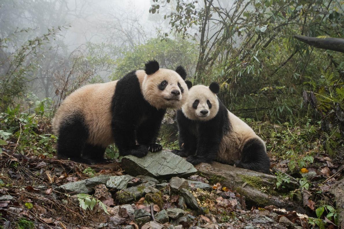 Riesenpanda und Junges