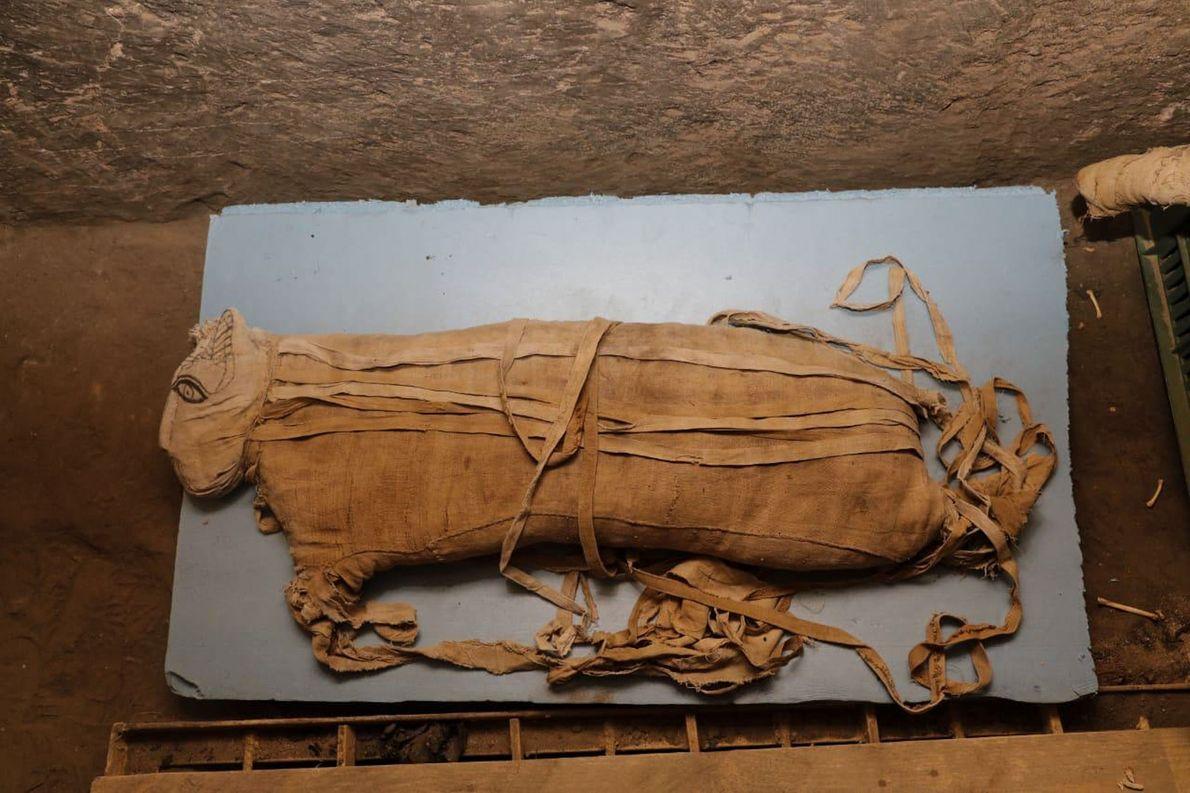 Seltene Löwenmumien in Ägypten gefunden