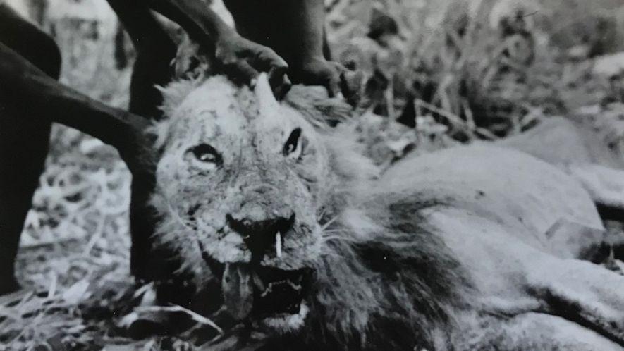 """Der """"Menschenfresser von Darajani"""" war ein Löwe, der 1965 einen kenianischen Jäger getötet hatte. Der Stachel eines Stachelschweins steckt ihm gut sichtbar in der Schnauze."""
