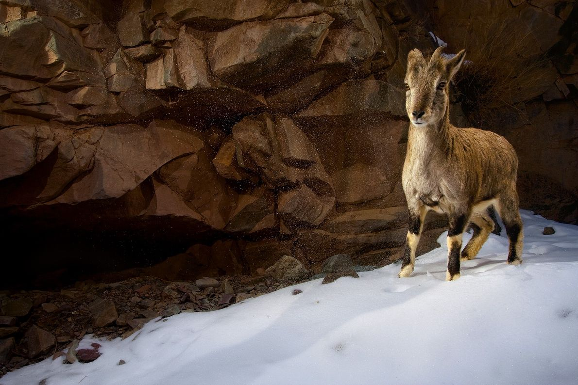 Ein junges Blauschaf, auch Bharal genannt, steht im indischen Hemis-Nationalpark im Schnee. Da diese Umgebung kaum ...