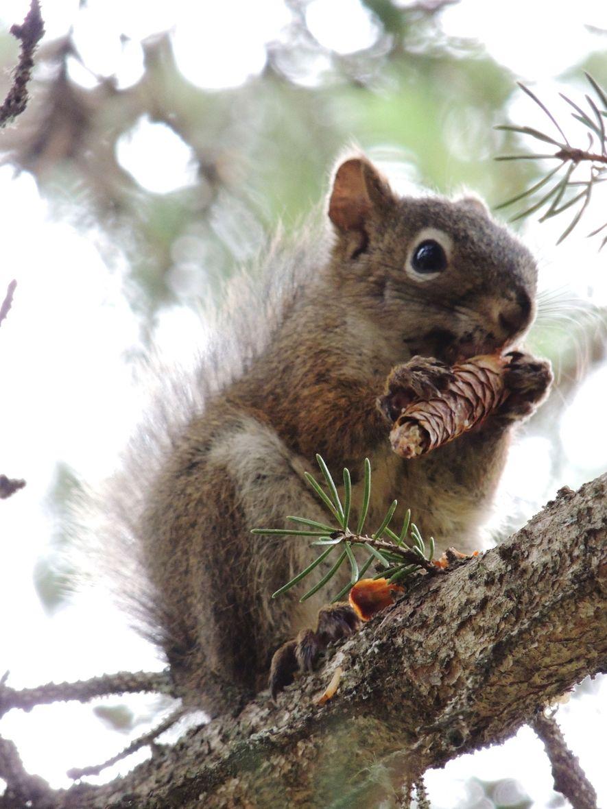 """Rothörnchen scheinen vorhersagen zu können, wann ein """"Mastjahr"""" auftritt, in dem den Hörnchen besonders viel Nahrung ..."""