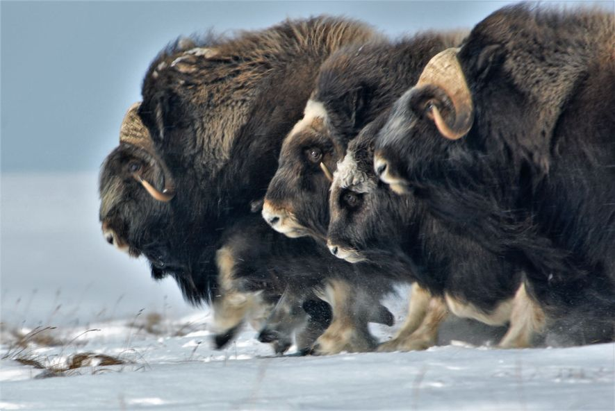 Klimawandel lässt Tiere der Arktis schrumpfen und erfrieren