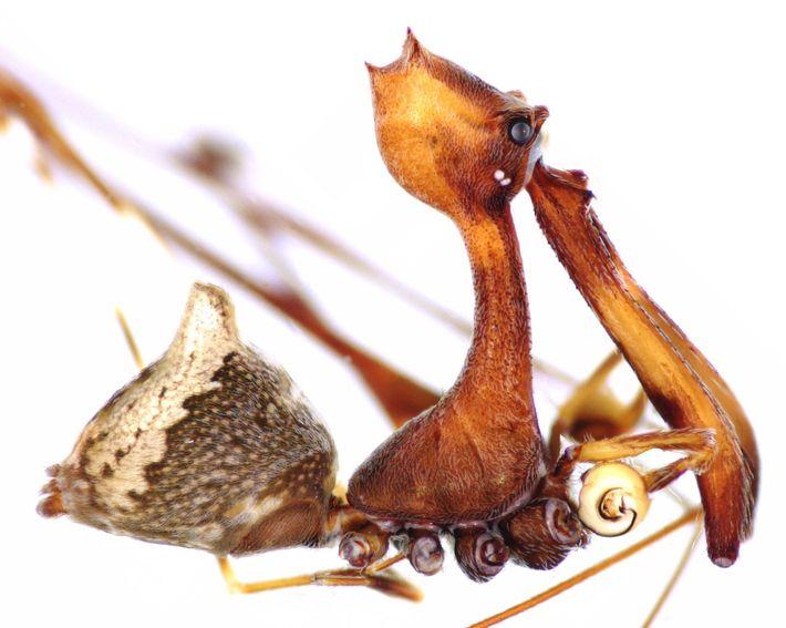 Diese neu entdeckte Art, Eriauchenius workmani, ist der größte bisher bekannte Vertreter aus der Familie der ...