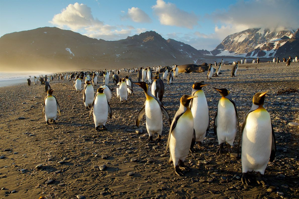 Eine Kolonie von Königspinguinen wandert an der Küste Südgeorgiens entlang, einer Insel im Südatlantik. Königspinguine verfügen ...