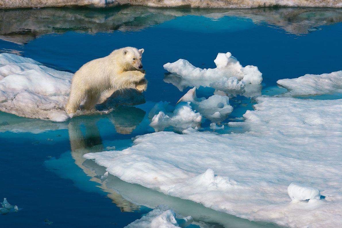 Ein junges Eisbärmännchen spring auf Spitzbergen in Norwegen auf das Packeis. Der Klimawandel stellt für die ...