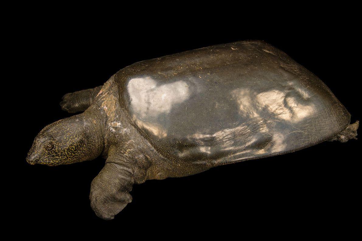 Weibliche Jangtse-Riesenweichschildkröte