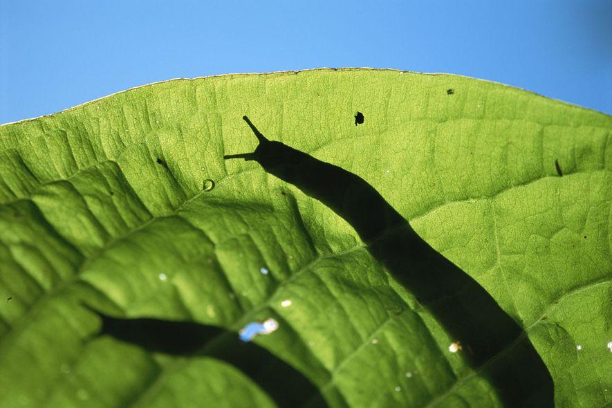 Parasit lauert in rohen Schnecken