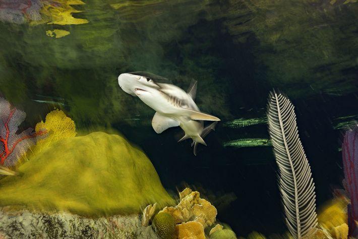 Im New England Aquarium von Boston (Massachusetts) schwimmt ein Schaufelnasen-Hammerhai durch den Giant Ocean Tank.