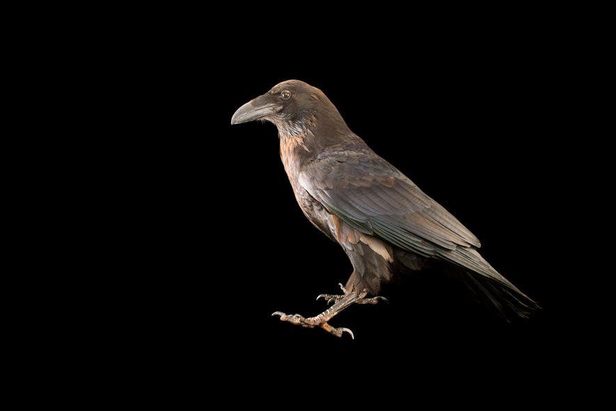 Ein Kolkrabe, Corvus corax, im Zoo von Los Angeles. Obwohl Raben und Krähen viele Ähnlichkeiten aufweisen, …