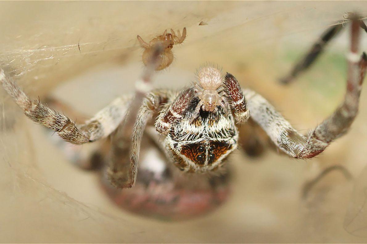 Kleine Spinne wird von Mutter gefüttert