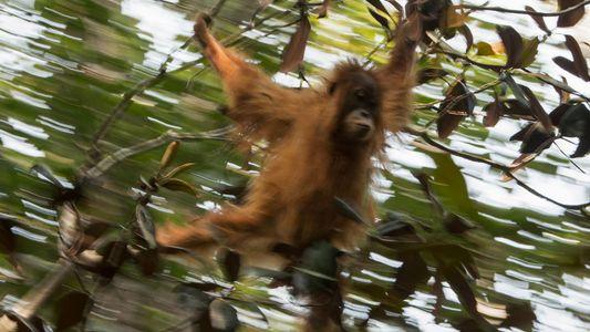 Galerie: Neue Orang-Utan-Art ist seltenster Menschenaffe der Welt