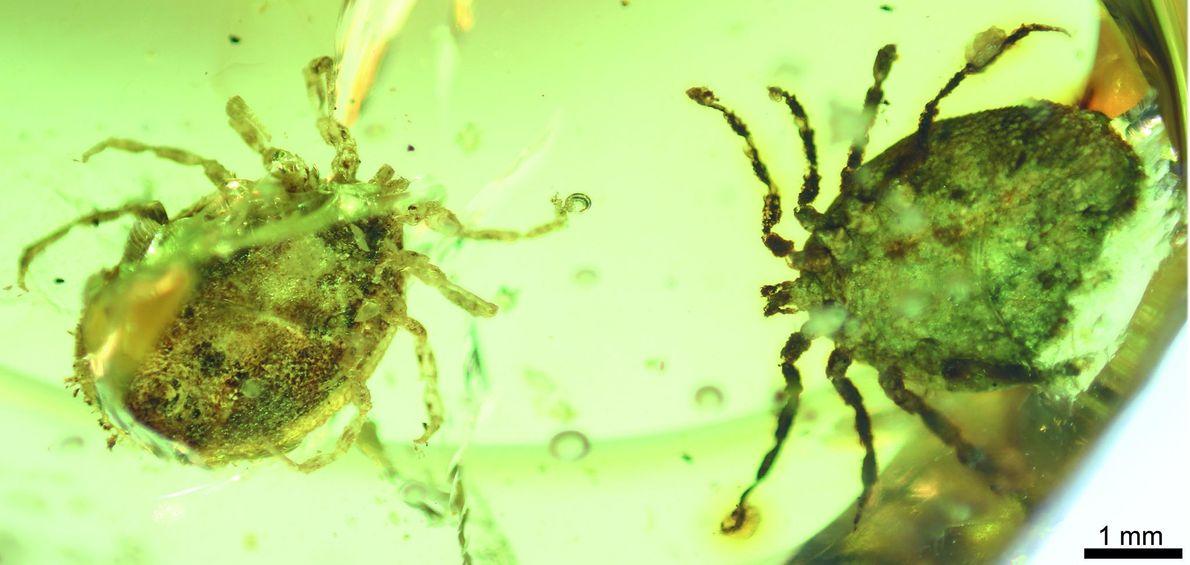 Eine der Zecken aus den Bernsteinproben stellt eine neue Art dar, die Deinocroton draculi getauft wurde.