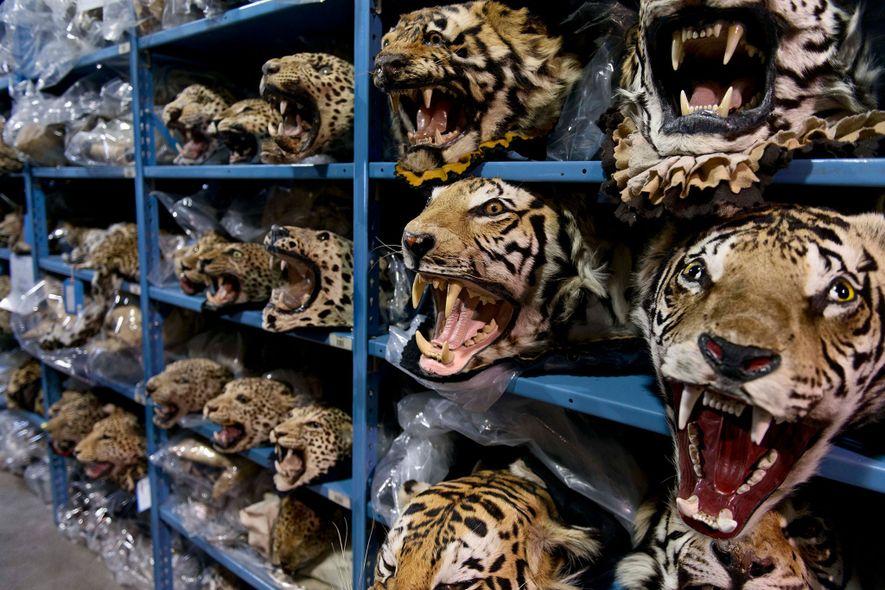 Ein Großteil der illegal gehandelten Tiger geht nach China oder Vietnam. Diese Tigerköpfe wurden allerdings in ...