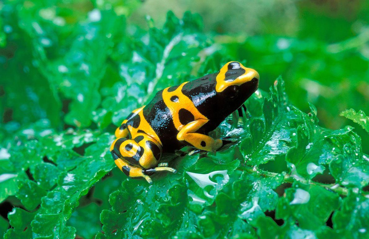 Gelbgebänderten Baumsteiger