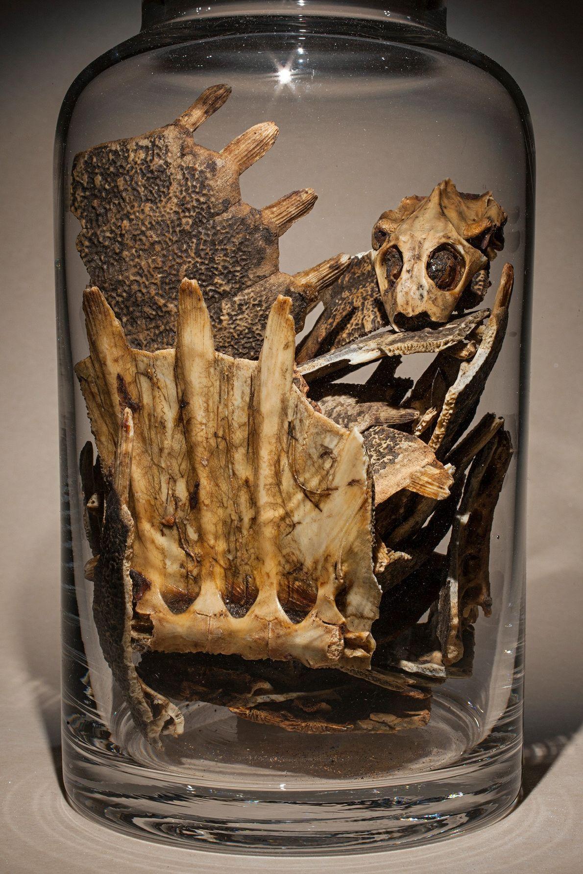 Chinesische Weichschildkröten werden häufig als Nahrungsmittel gezüchtet. Ihre Panzer, die dabei als Abfall anfallen, werden in ...