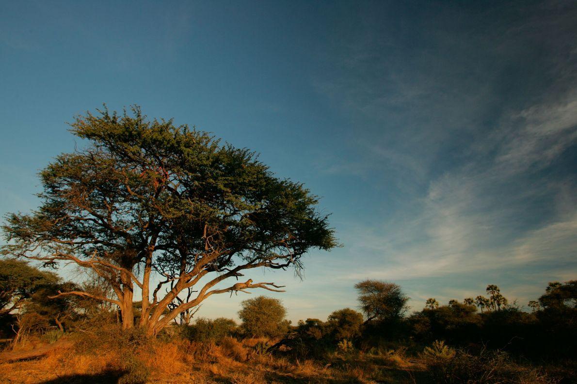 Eine Leopardin liegt in Mombo, Botswana, in einer Akazie.