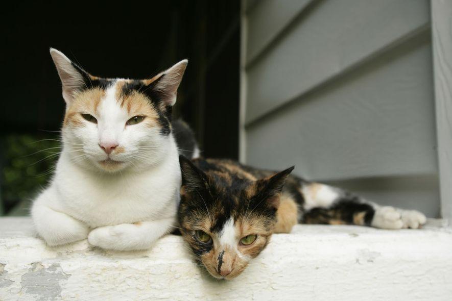 Hauskatzen verbringen einen Großteil ihrer Wachphasen mit der Fellpflege, die beruhigend auf sie wirkt.